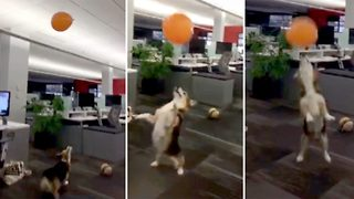 This corgi seriously loves balloons