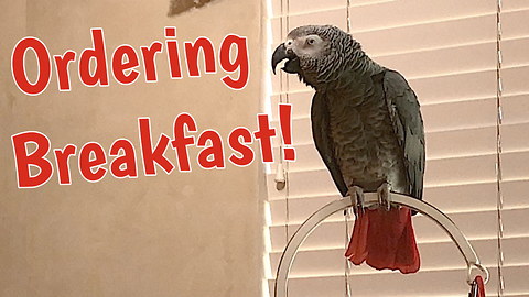 Demanding parrot places breakfast order