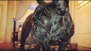 Carpet Ant Confuses French Bulldog - Video
