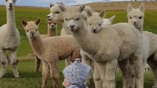 Alpaca youngsters curiously gather around cute baby