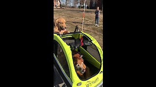 Golden Retriever hilariously pushes doggy in a stroller