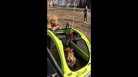 Golden Retriever Pushes Doggy In A Stroller