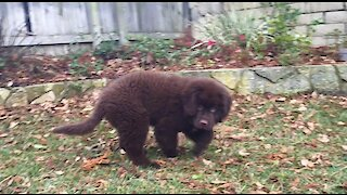 Newfoundland puppy chases leaves on a windy day