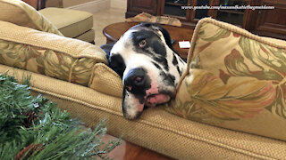 Funny Great Dane Is Too Tired To Pester The Cat