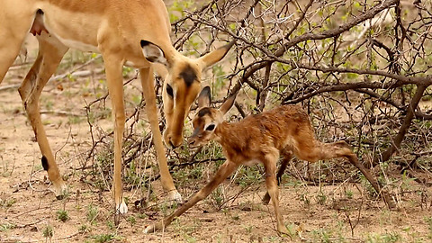 This Is The Amazing Moment A Baby Impala Makes Its First Steps
