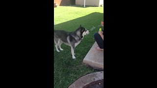 Husky happily enjoys playing with bubbles