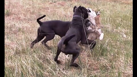 A mongrel against two cane-corso