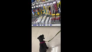Little puppy barks at his reflection while at the store