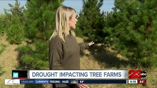 Christmas tree traditions compromised this year - Video
