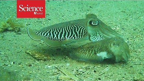 Cuttlefish really know how to fight for their gals, rare video shows