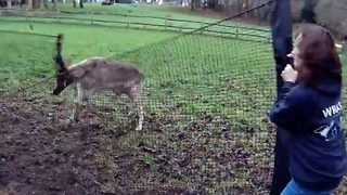 Deer Gets Rescued On Christmas Day After Antlers Get Stuck In Fence - Video