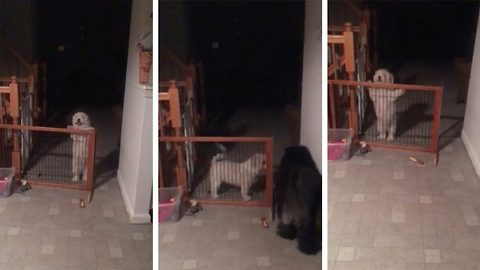 Confused Pooch Struggles With The Indoor Wooden Gate