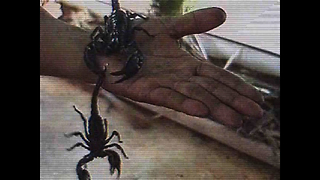Man Covered in 5000 Scorpions - Video