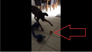 Confused dog totally skeptical of harmless orange - Video