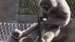 Greedy gibbon refuses to share food with youngster