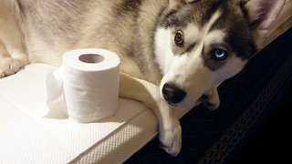 Husky caught destroying toilet paper - can't hide guilt  - Video