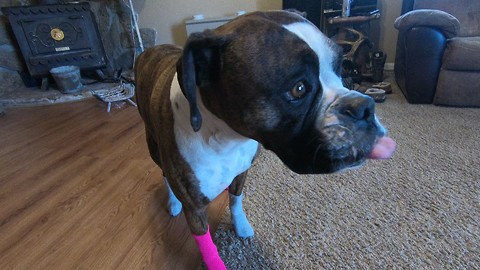Dog Humorously Walks In Socks