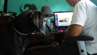 Great Dane competes with Rumble videos for attention - Video