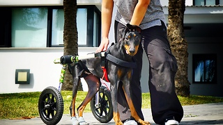 Dog with broken back left paralyzed, now lives happy life - Video