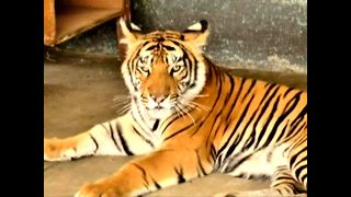 Bengal Tiger...at a dog shelter?