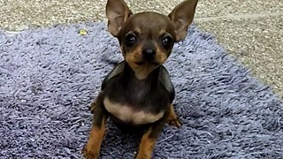 chihuahua dog puppie baby first barks and jumps