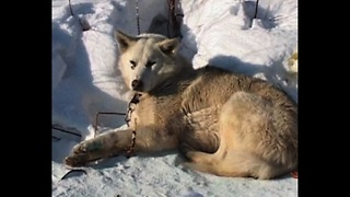 Russian Dog Sled Race - Video