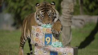 Sumatran Tiger Twins Unwrap Tasty Treats for Ninth Birthday - Video