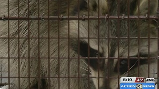 Trapped raccoon recovering - Video