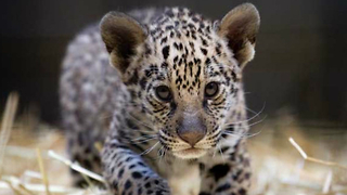 Cute Baby Jaguar Cubs