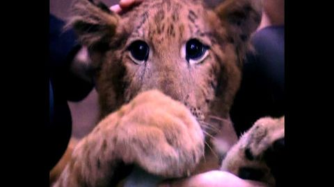 Cute Chinese Liger