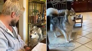 Typical morning discussion between husky and owner