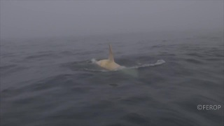 Extremely Rare White Orca Spotted In Russian Waters - Video