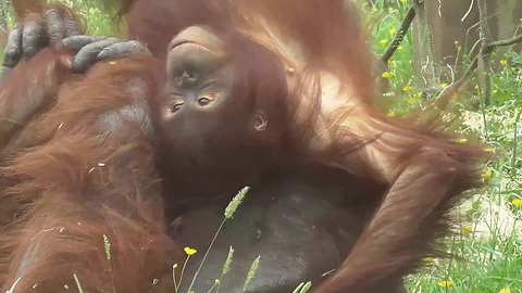 Unusual friendship between orangutan father and daughter