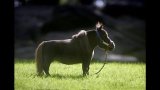 Thumbelina: World's Smallest Horse - Video