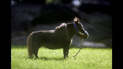 Thumbelina: World's Smallest Horse