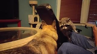 A Dog Playing With A Raccoon Is Just What You Need To See Today. - Video