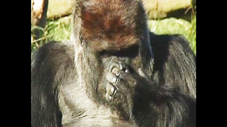 Gorilla Picks Nose - Video