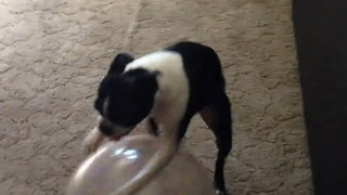 Boston Terrier uses ball to walk in reverse - Video