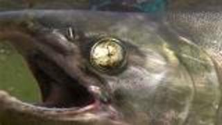 Salmon's Internal Compass - Video