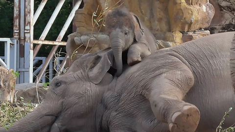Adorable Baby Elephant Loves Climbing On Mom