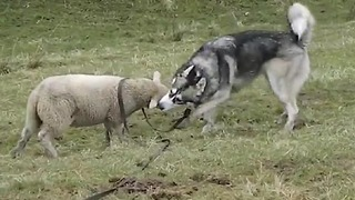Energetic Lamb Enjoys Outdoor Playtime With Husky Friend