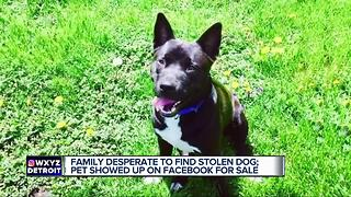 Family desperate to find stolen dog - Video