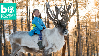 Reindeer Herding In Snowy Mongolia - Video