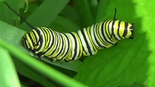 Is this a two-headed caterpillar? - Video