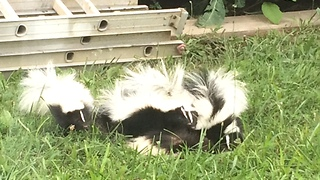 How many skunks do you see? Wait for it! - Video