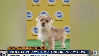 Puppy from Nevada will compete in Puppy Bowl - Video