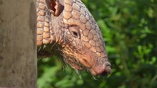 Armadillo - Who's The Daddy!