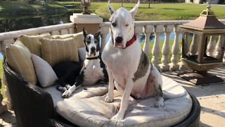 Two Great Danes enjoy chilling out on the patio lounger  - Video