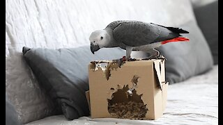 Playful parrot totally decimates cardboard box