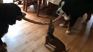 Tiny puppy wins tug-of-war against giant Bernese Mountain dogs